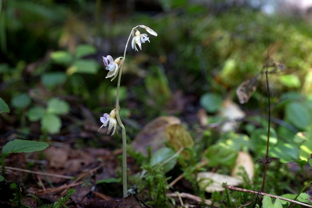 Metsänemä on lehtivihreätön ja sen kukinto on hentoisen vaaleansininen.