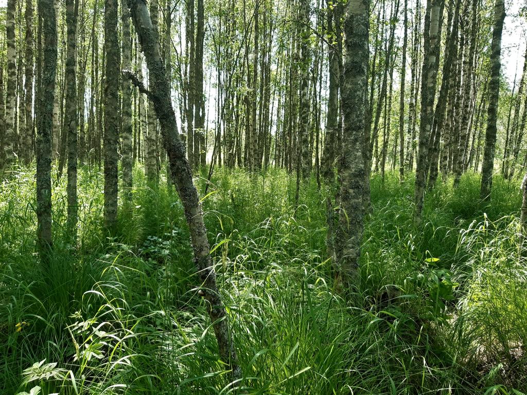 Tulvaniitty, jossa kasvaa myös tiheästi puita.