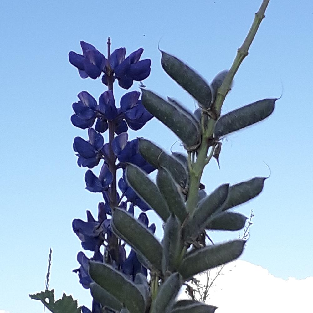 Komealupiinin violetti kukinto.